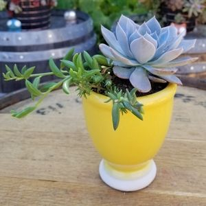 Small yellow planter with Rosette
